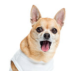 Close up of a dressed up Chihuahua panting, isolated on white