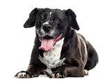Labrador-boxer crossbreed lying, panting, isolated on white