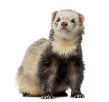 Ferret sitting, facing, isolated on white
