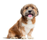 Lhassa apso sitting, panting, isolated on white