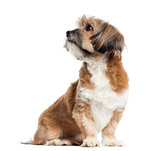 Lhassa apso sitting, looking away, isolated on white