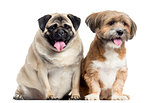 Two dogs sitting and panting, isolated on white