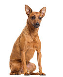 German Pinscher sitting, isolated on white