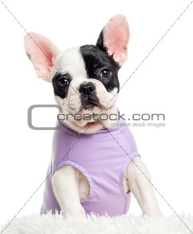 Close up of a dressed French Bulldog looking at the camera, isol