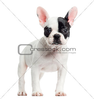 French bulldog standing, looking at the camera, isolated on whit