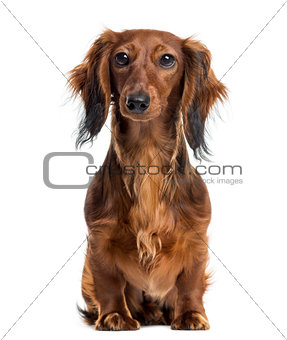 Dachshund sitting and facing, isolated on white
