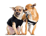 Two dressed up Chihuahuas, isolated on white