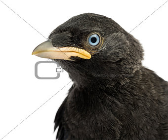 Close up of a Western Jackdaw, Eurasian Jackdaw or European Jack