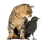 Cat looking at a Western Jackdaw, isolated on white
