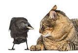 Western Jackdaw and cat looking at each other, isolated on white