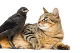 Lying cat looking at a Western Jackdaw, isolated on white