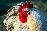 Strong hen