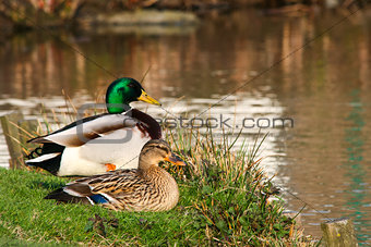 2 ducks in love