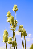 Teasel flowers against blue sky