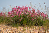 Red Valerian (Centranthus ruber) on Aldeburgh Beach, Suffolk, En