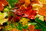wet yellow and red mapple leaves as autumn background