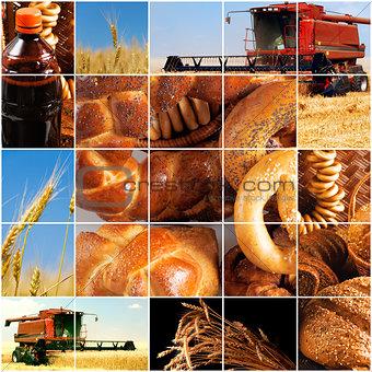 harvesting of grain crops in late summer