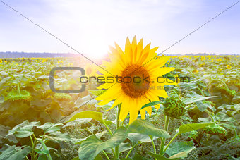 Blooming field of sunflowers at dawn