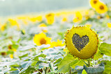 Sunflower with heart shaped figure on natural bokeh background