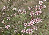 Spring Australian wildflower Leptospernum Pink Cascade flower