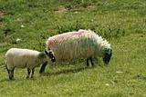 Irish Ewe and Lamb