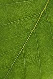 Closeup of a birch leaf