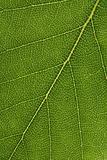 Closeup of a birch leaf