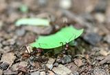 Leafcutter Ants