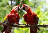 Fencing Macaws
