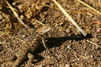 Arizona Desert Lizard
