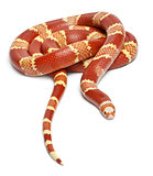 Albino Tangerine selection Honduran milk snake, Lampropeltis triangulum hondurensis, in front of white background