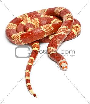 Albino Tangerine selection Honduran milk snake, Lampropeltis triangulum hondurensis, in front of white background