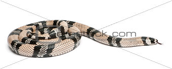 Anerytristic Honduran milk snake, Lampropeltis triangulum hondurensis, in front of white background