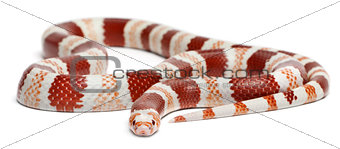 Albino Tangerine Honduran milk snake, Lampropeltis triangulum hondurensis, in front of white background