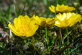 Yellow Adonis closeup