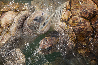 Carribean Sea Turtles