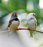 Zebra Finch Birds