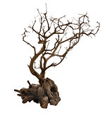 Dried Tree With Roots