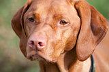 Closeup of a Vizsla Dog