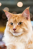 Red-white tabby Maine Coon cat