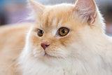 Relaxed orange-white cat