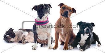 four staffordshire bull terrier