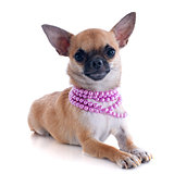 puppy chihuahua and collar