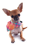puppy chihuahua with bandana