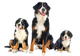 bernese moutain dogs