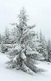 Winter dull day mountain fir trees