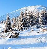 Winter fir in first morning  sunbeams