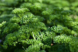 Fresh green curly parsley
