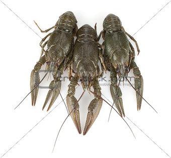 Three crayfishes