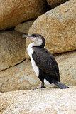 Little Pied Cormorant, Australia